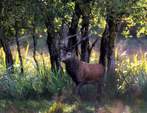 Red Deer in Killarney National Park