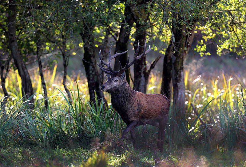 Irish Red Deer - Killarney National Park